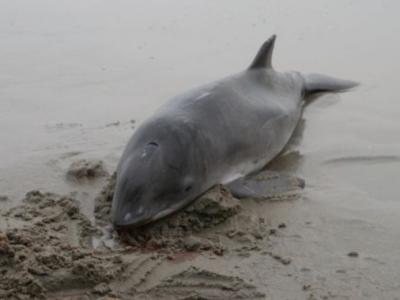 Bruinvis spoelt aan in Katwijk