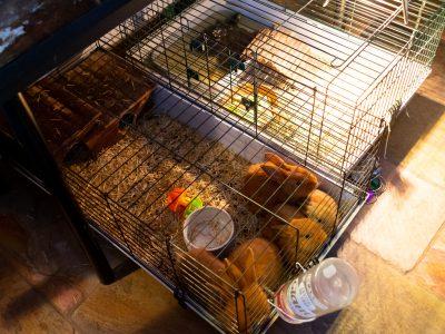 Stichting Flappus vangt veertien hamsters op