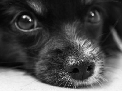 App Megvii: Honden neusherkenning