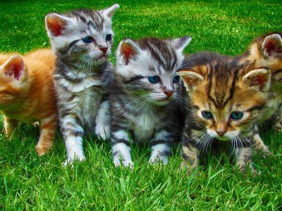 Hete zomer zorgt voor babyboom onder katten