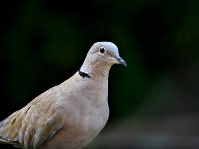 Getuigen gezocht mishandeling duif