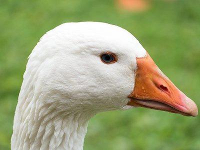 Samenwerkende dierenambulances redden met frituurvet besmeurde ganzen