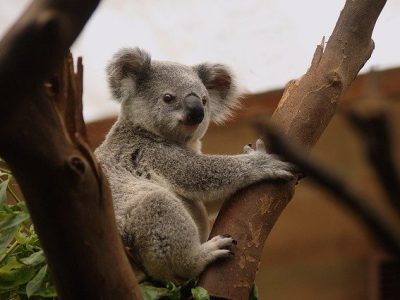 Dierenambulance De Waadhoeke zamelt in voor Australische dieren.