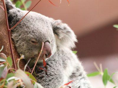 Dierenambulance haalt € 17.736,26 op voor Australië