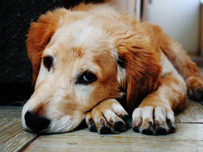 Wanneer de hond diarree heeft – Oorzaken en voeding tips